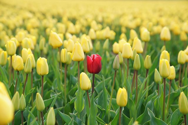 red tulip standing out